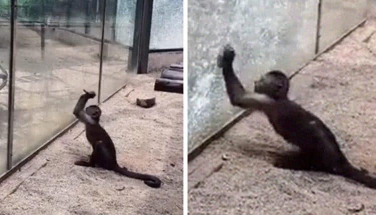 Visitante de zoológico vê macaco afiando uma pedra e usá-la para quebrar sua jaula de vidro