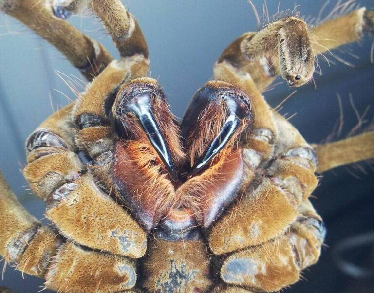 Conheça a aranha-golias, a maior aranha do mundo